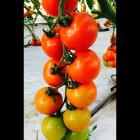tomaten02