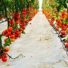 tomaten03